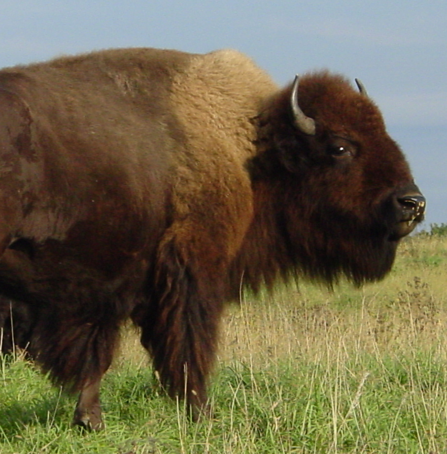 A Bison Eats Find local Buffalo Mea...